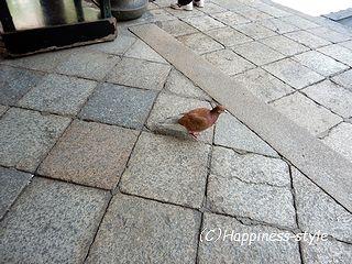 六角堂内・茶色のハト