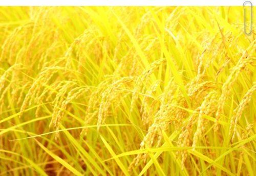 黄金色の稲穂